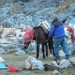 Horses getting set for the days journey