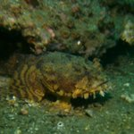 An Oyster Toadfish