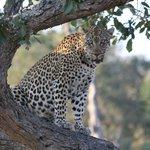 close lepard
