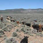 Rounding Up and driving Cattle