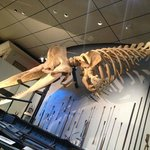 The bones of a 'small' sperm whale on display