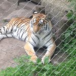 One of the Bengal tiger sisters relaxing in the shade.