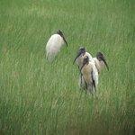 Wood Storks in Crooked Tree Village