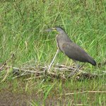 Bare-throated Tiger Heron seen from lodge