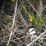 Kingfisher near lodge