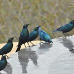 Starlings drinking from our pool