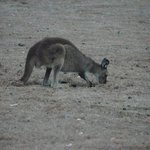 Kangaroos and Canapés