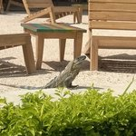 One of many iguanas hanging out
