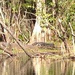 Gators in the wild!