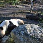 панда на водопое