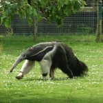 Children will love the starnge looking anteater