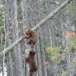 Beer cubs in Jasper NP