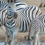 Zebra viewed on safari drive with Ghost Mountain Safaris