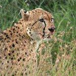 Cheetah on Safari Drive with Ghost Mountain Safaris