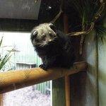 The unusual Binturong or bear/cat