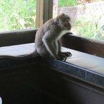 Visiting monkey