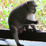 Visiting monkey on balcony