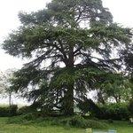 Um cedro nos jardins