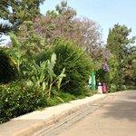 One of the Jacaranda trees (