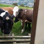 Nosey cows!
