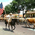 The cattle drive which happens twice a day