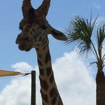 Hungry Giraffe at the feeding area