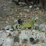 Our friend the Iguana!