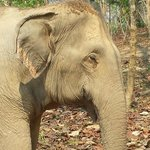One of the Gossip Girls of Boon Lott Elephant Sanctuary