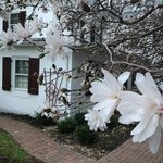 Star Magnolia in full bloom!