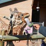 My husband feeding the giraffe