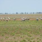 Wattled crane at Liuwa