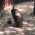 Mama Peacock and Baby
