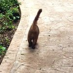 I think this is a Coati