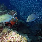 Two black jacks hunting along the reef (G.P. Schmahl, Flower Garden Banks NMS, NOAA)