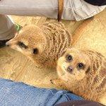 Meeting the Meerkats.