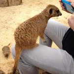 Up close with the Meerkats.