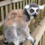 Gary the Lemur!