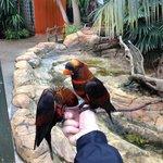 Greedy Dusky Lories feeding from pot of nectar.