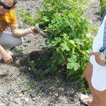 Santorini Grape Vine