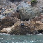 A solitary seal.