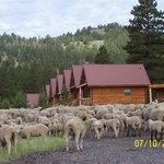 Customer Photo of Sheep Herding in the Fall.