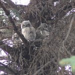 Great Horned Owlets in their nest on the grounds