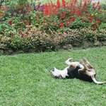 """Fred"" the neighborhood dog rolling in the grass in front of cafe"