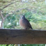 a friendly little dove on our balcony
