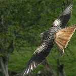 Look for red kites on our wildlife walks