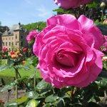 Roos met kasteel op de achtergrond
