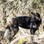 We have seen Wild Dogs on almost every visit to the park