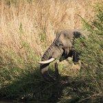 An elephant entering the Black Imfolozi River
