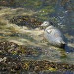 Seal at play, in rocks and seaweed below Yaquina Head Lighthouse