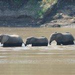 Elephants crossing the river near camp